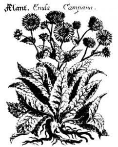 Девясил. В. X. фон Хохберг, 1675 г.